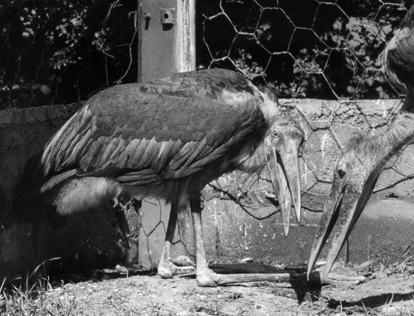 Lesser Adjutant Storks, native to India. Date: 1960s