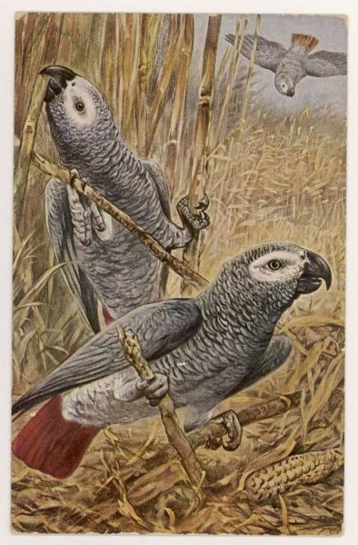 AFRICAN GREY PARROT (Psittacus erithaeus) 'Such a universal favourite... scarcely requires description as its appearance is familiar to all.&#39