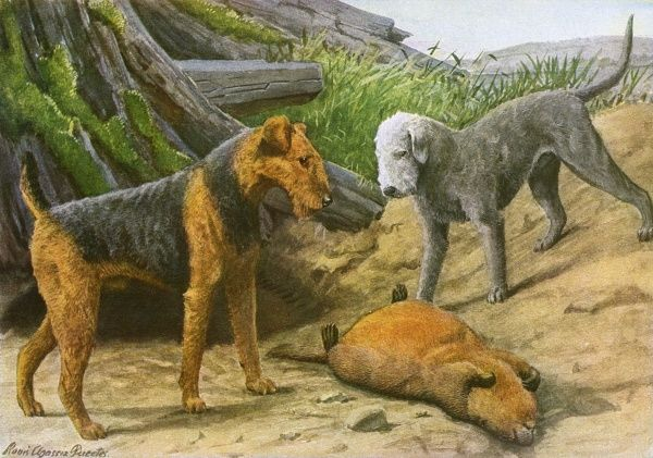 Airdale Terrier and Bedlington Terrier, stand above a beaver they have killed Date: 20th century
