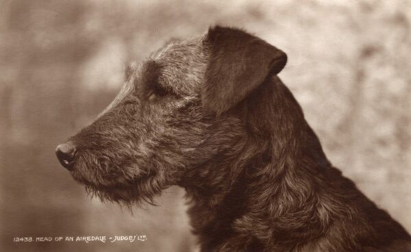 A delightful profile portrait study of an Airedale Date: 1933