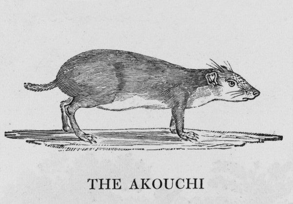 The Akouchi 'seems to be a variety of the agouti', Bewick says. It lives in South America - that is, until it is hunted, caught and eaten