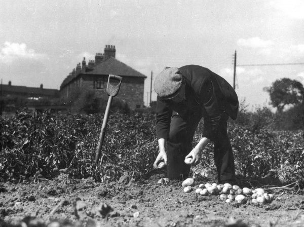 A man in a flat cap proudly harvests his splendid potato crop from his allotment