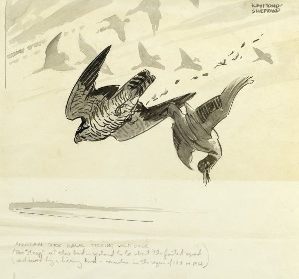 A Peregrine Falcon, historically known in North America as an American duck hawk, striking a wild duck in mid-flight