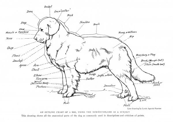 Anatomical diagram of a Newfoundland dog Date: 20th century