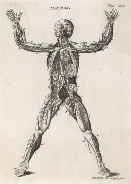 An anatomical drawing of the human body, showing muscles, nerves and internal organs