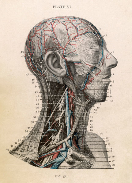 Detailed diagram of the head and throat Date: Nineteenth century