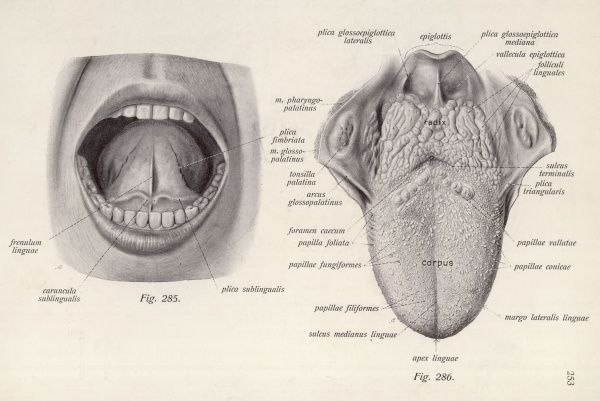 MOUTH A medical diagram of the human tongue (lower and upper surfaces), with the specific zones of taste and sensation marked by their Latin names