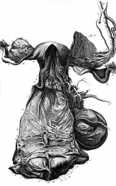 Anatomy of the UTERUS according to the anatomist Haller. Date: Circa 1760