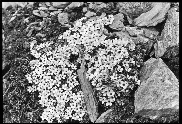 Androsace Glacialis, of the Primulaceae family, also known as rock jasmine or fairy candelabra. They flourish in rock clefts on alpine summits, with pink flowers fading to white in the early spring