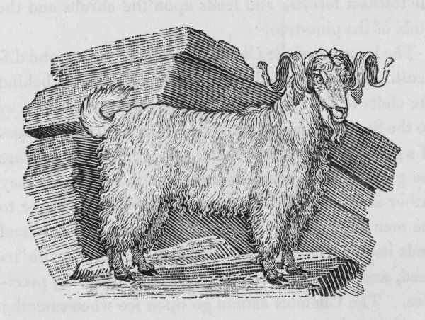 The coat of the goat of ANGORA (named from a town in Asia) is prized for the warm, silky clothes made from it
