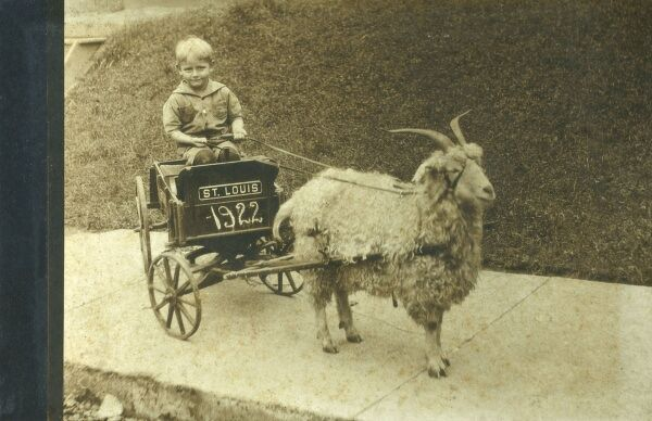 An attractive photographic postcard depicting an angora goat pulling a little boy's cart - St. Louis, Missouri, USA. Date: 1922