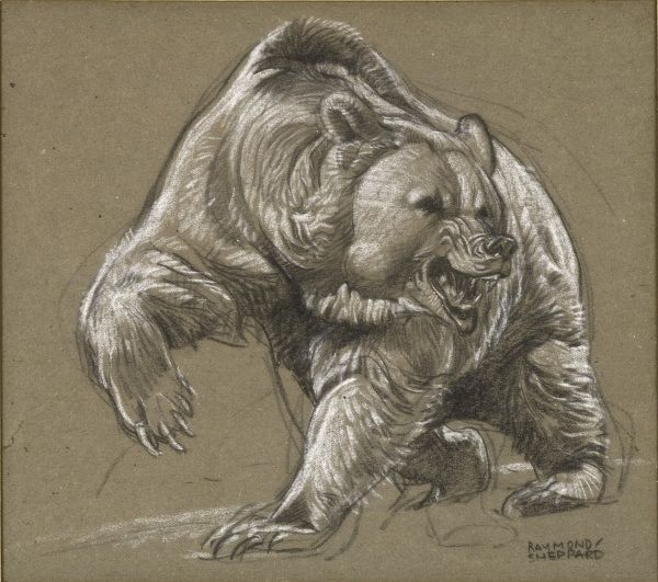 Enraged Grizzly Bear snarling and raising a dangerous-looking paw. Pastel sketch by Raymond Sheppard
