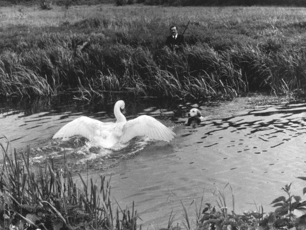 An aggressive swan disputes the right of way when an Otter Hound attempts to swim in a river! Date: 1950s