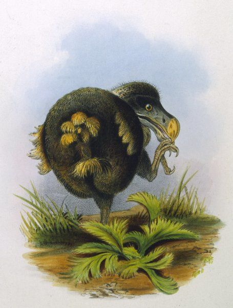 DODO EXTINCT BIRD