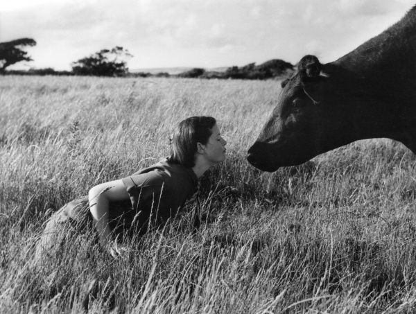 Anne & the Aberdeen Angus cow! Following the rules of Barbara Woodhouse's book 'Talking to Animals', (1954), Anne found she could talk to the cattle and handle them with ease! Date: 1950s