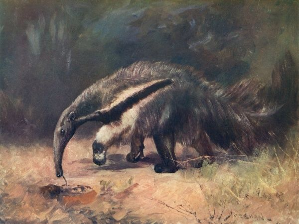 The great ant-eater, eating ants (myrmecophaga jubata)