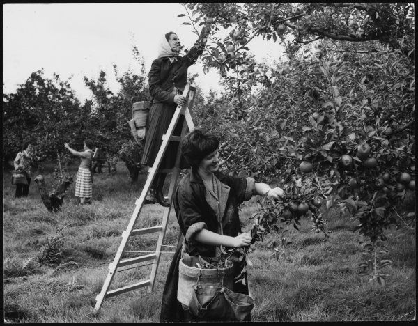 Women picking apples in an orchard in Essex, England