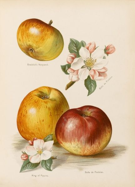 Braddick's Nonpareil King of Pippins Belle de Pontoise, with blossom