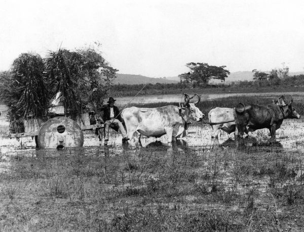 An unfortunate farmer stuggles to harvest his crops with an ox-drawn wooden cart in monsoon conditions, Argentina, South America. Date: 1930s