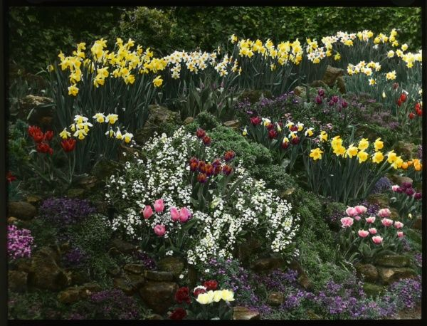 An array of colourful spring flowers, including daffodils and tulips, in an unidentified rock garden