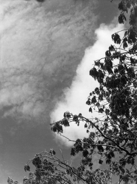 Ash tree branches and leaves, blowing in the wind against a cloudy sky. Date: 1930s
