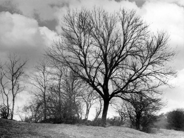Ash trees in winter. Date: 1950s