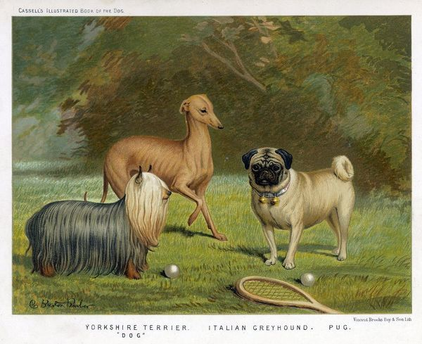 Three toy dogs - a Pug, an Italian Greyhound and a Yorkshire Terrier