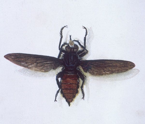 The Australian Robber Fly. Date: 1901