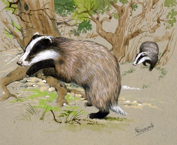 Two badgers (Meles meles) forage for food in a wood. Painting by Malcolm Greensmith