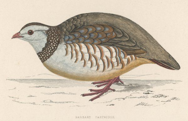 BARBARY PARTRIDGE (Perdix petrosa)