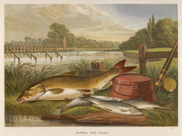 A barbel and a dace