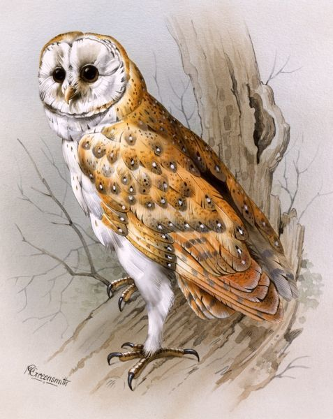 A Barn Owl (Tyto alba), perched on a gnarled old branch. Painting by Malcolm Greensmith