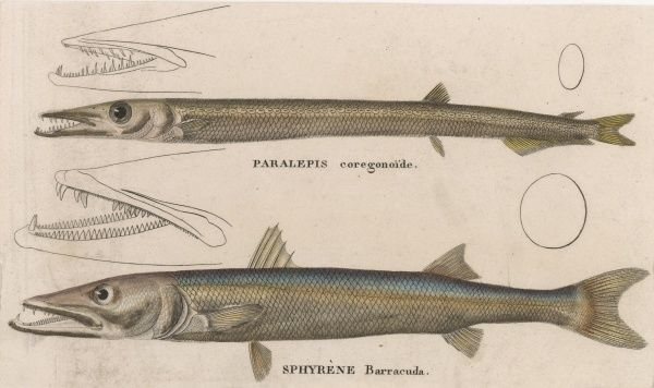 Two species of barracuda: PARALEPSIS COREGONOIDE SPHYRENE BARRACUDA
