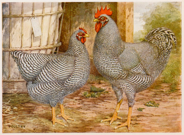 Barred Plymouth Rock cock and hen