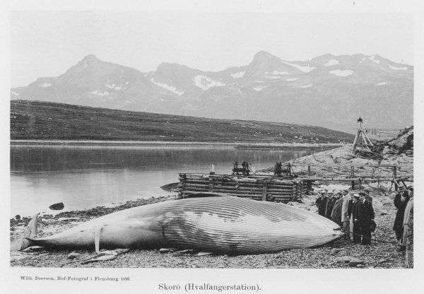 A beached whale at Hvalfanger station, Norway