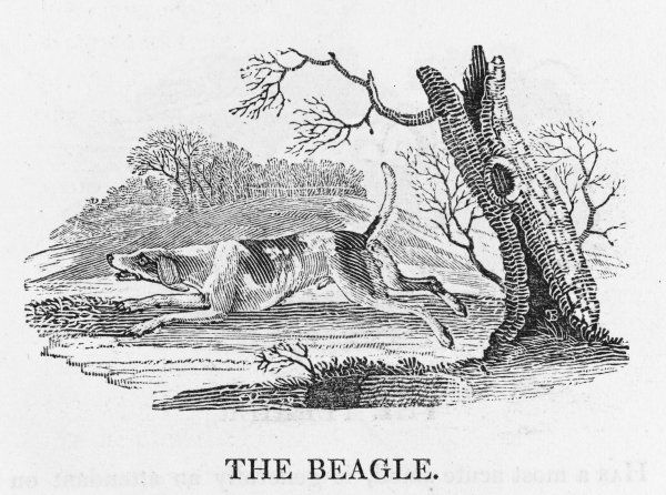 'The Beagle is used only in hunting the Hare... Although far inferior in point of speed, it follows by the exquisiteness of its scent and traces her footsteps.&#39