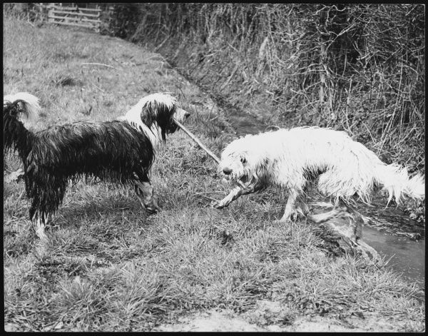 Two wet Bearded Collie dogs have a 'tug of war' over a stick!
