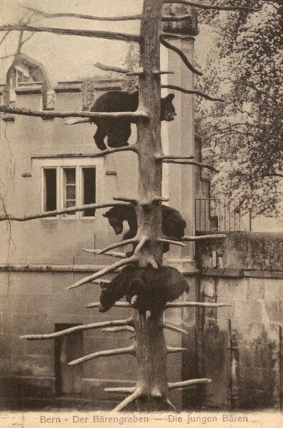 Three bears climbing a tree in their enclosure at the zoo in Bern, Switzerland. The bear is the emblem of the city