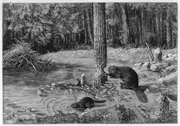 The beaver can fell a tree, when it suits his purpose : he nibbles round the trunk with his teeth, choosing which way he wants it to fall