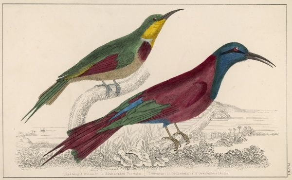 (Merops) Two from this family : Red-winged bee-eater Blue-headed bee eater