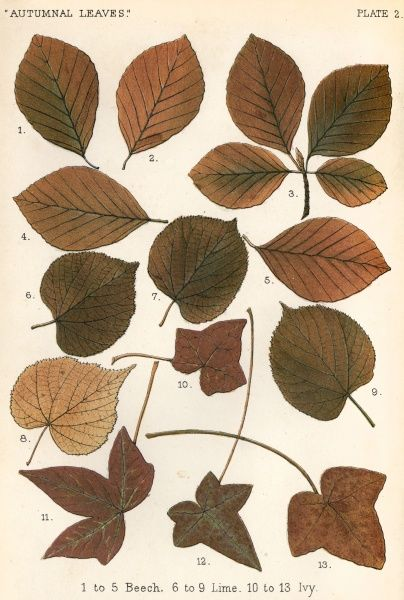 Beech, lime and ivy leaves in autumn colours Date: 1885