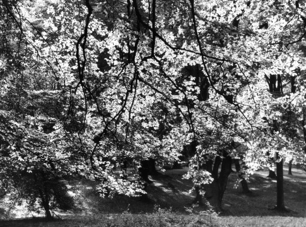 A pattern of sun-drenched beech leaves. Date: 1930s