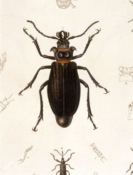 PRIONUS CUMINGII A black beetle with orange bands. Date: 1835