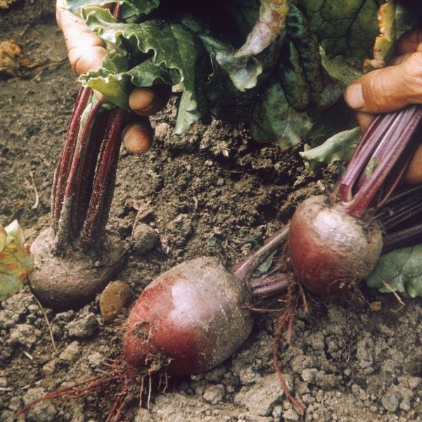 'Avons Early' variety of beetroot. Date: 1969