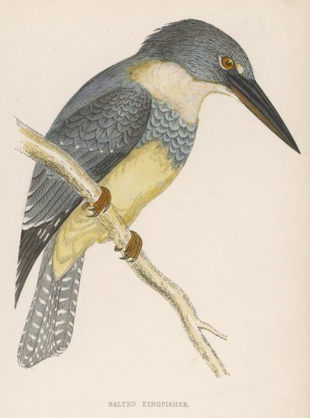 NORTH AMERICAN BELTED KINGFISHER (Ceryle alcyon)