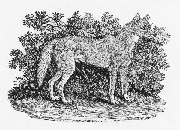 Named by Bewick 'the New South Wales Wolf' because he thought it more like a wolf than a dog. As a small boy, I was bitten by one at Whipsnade