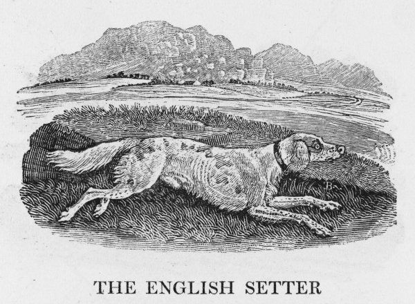 This is THE ENGLIGH SETTER whose 'sagacity in discovering the various kinds of game, and its caution in approaching them, are truly astonishing', so Bewick tells us