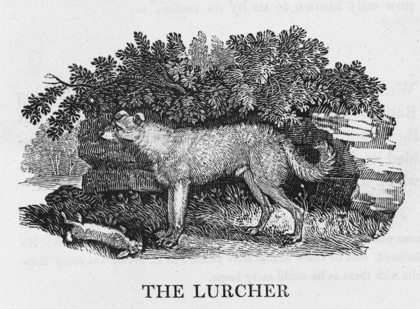 'Its habits are dark and cunning' says Bewick of this dog which is nevertheless popular with miners and other such persons