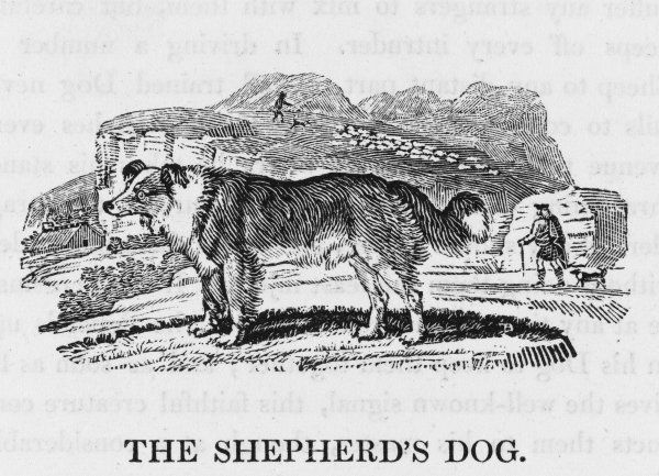Bewick labels this 'canis domesticus' and Buffon classifies it as 'Le berger' but it is just one of countless dogs which earn their keep by herding sheep