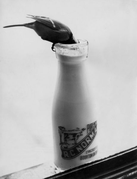 A naughty Blue Tit succeeds in pecking through the lid of a milk bottle and gets a free drink! Date: 1950s